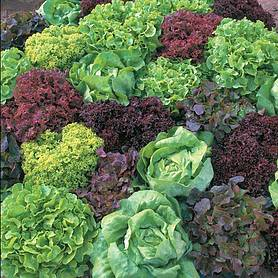 Lettuce 'Ultimate Mixed'