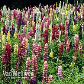 lupin lupini mixed