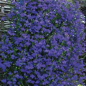 lobelia monsoon