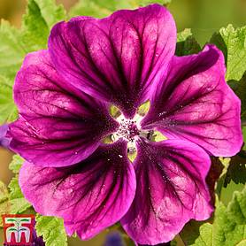 Malva 'Magic Hollyhock'