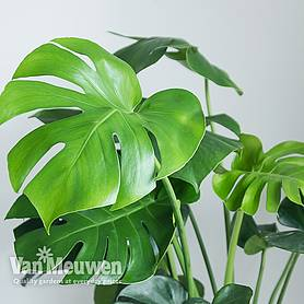 monstera deliciosa house plant