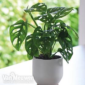 monstera monkey leaf house plant