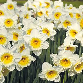 narcissus butterfingers