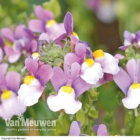 nemesia seventh heaven