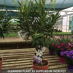 oleander collection