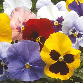 pansy universal mixed