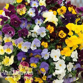 pansy coolwave