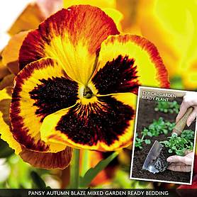 pansy autumn blaze mixed garden ready