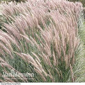 pennisetum fireworks grass collection