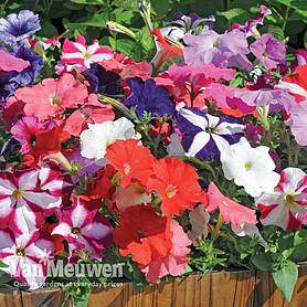petunia frenzy mixed f hybrid