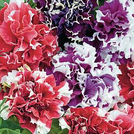 petunia orchidflowered mixed f hybrid success kit