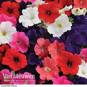 petunia express mixed