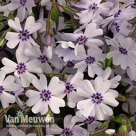 Phlox 'Pharao Blue Eye'