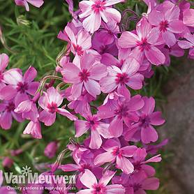 phlox mixed creeping