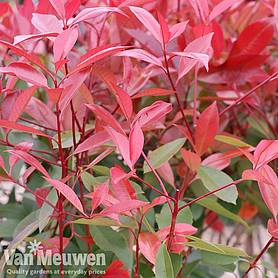 photinia x fraseri red robin patio standard