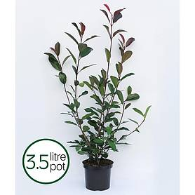 photinia x fraseri red robin large plant