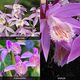 Pleione 'Orchid Collection'