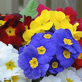 polyanthus most scented garden ready