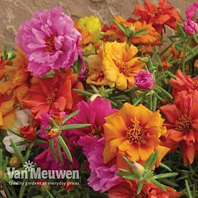 portulaca stopwatch mix