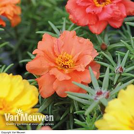 portulaca grandiflora happy hour mixture