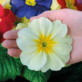 primrose mega mixed