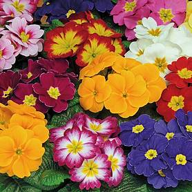 primrose bonneli mixed  preplanted rattan hanging basket