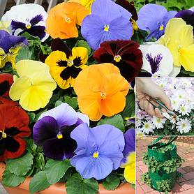 pansy most scented mix