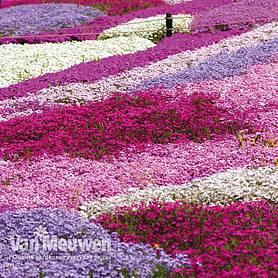 Ground cover plants van meuwen 72 reviews mightylinksfo