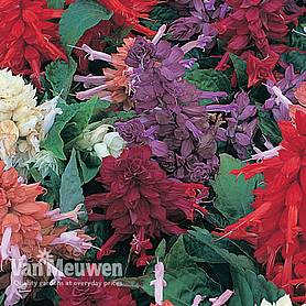 salvia sizzler mix