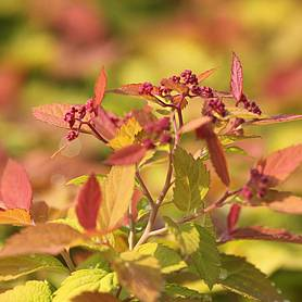 spiraea japonica pink and gold