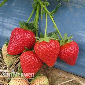 strawberry malling centenary