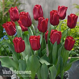 tulip container collection