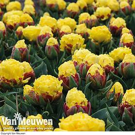 tulip ice cream yellow