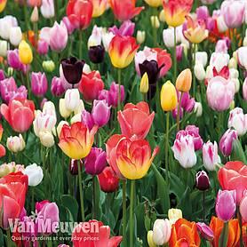 15 TULIP BULBS /'SCARLET BABY /' ~ Multi Buy ~ Dwarf Tulip ~ ROCKERY TULIP