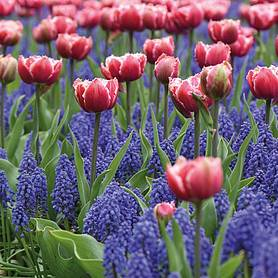 tulip and muscari regal mix