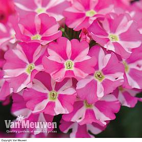 verbena voodoo star mixed