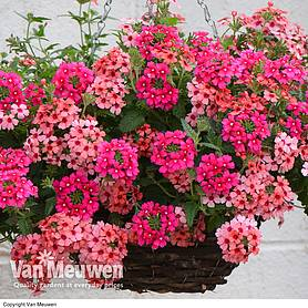 verbena showboat magenta  mango orange mixed