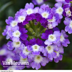 verbena obsession twister red  purple