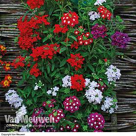 verbena quartz mix garden ready