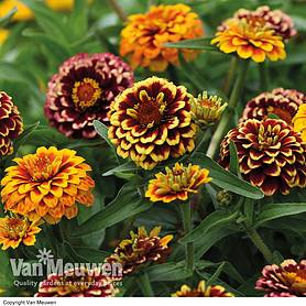 zinnia haageana aztec sunset