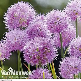 Allium carolinianum 'Rosy Dream'