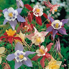 Aquilegia 'Pretty Bonnets Mix' (Seeds)