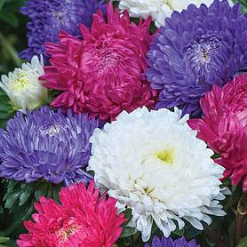 Aster 'Milady Mix' (Seeds)
