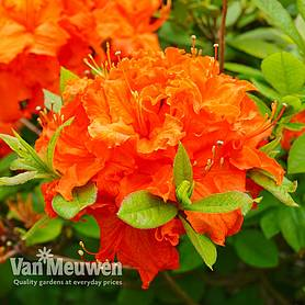 Azalea 'Dwarf Orange'