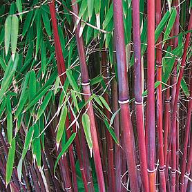 Bamboo 'Asian Wonder'