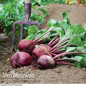 Beetroot 'Action' (Seeds)
