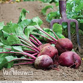 beetroot action seeds