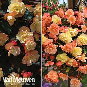 Begonia 'Fragrant Falls' Duo
