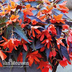 Begonia 'Bossa Nova Night Fever Papaya'
