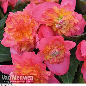 Begonia 'Sweet Spice Bounty Coral'